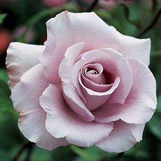 Lagerfeld 24-inch Patio Tree Rose