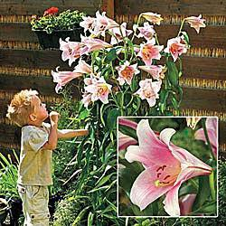 Giant Trumpet Lily Bellsong