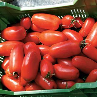 Tomato Agro Hybrid
