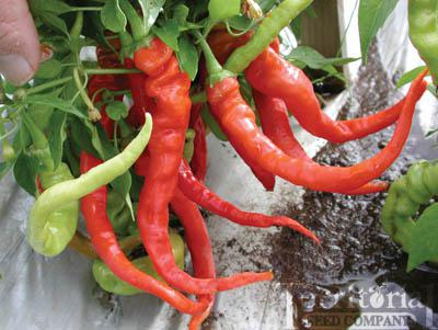 Italian Pepperoncini Pepper