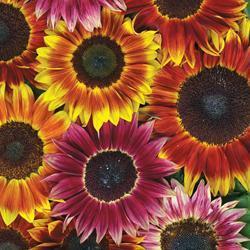 Sunflower annuus 'Harlequin' F1 Hybrid