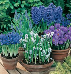 SOLD OUT Cool Blue Collection  - 105 bulbs