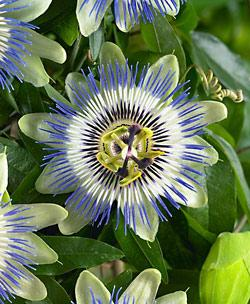 Caerulea Passion Flower Climbing Vine - 3 pre-started plants