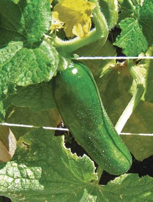 Cucumber, Beit Alpha MR