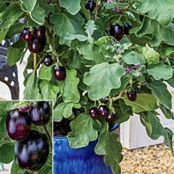 Eggplant Pot Black