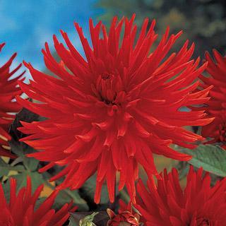 Fringed Apache Dahlia Plant