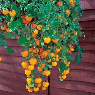 Tumbling Tom Yellow Tomato Plant