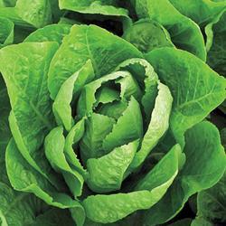 Super Jericho Head Lettuce