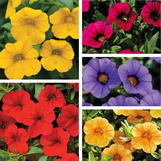 MiniFamous™ Calibrachoa Annual Plant Collection