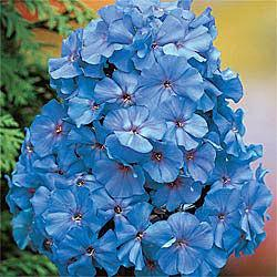Blue Boy Tall Phlox
