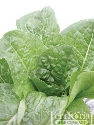 Bullet Lettuce Organic