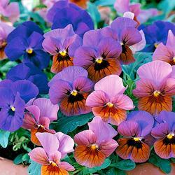 Viola x w. 'A Touch Of Bronze Mixed'
