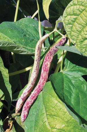 Bean, Dragon Langerie Wax, Bush, Organic