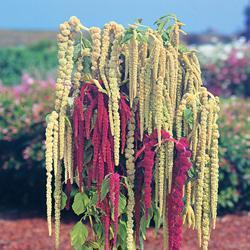 Amaranthus c 'Pony Tails'