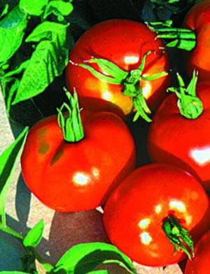 Tomato, Stupice, Cool Climate