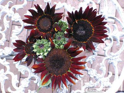Sunflower-Prado Red