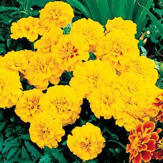 Marigold Aurora Gold