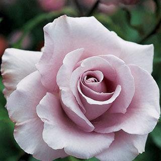 Lagerfeld Lavender Rose