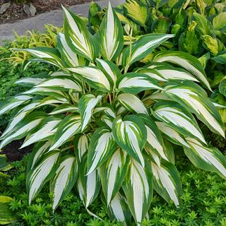 Cool as a Cucumber Hosta Plant