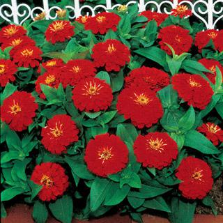 Zinnia Dreamland Scarlet Hybrid