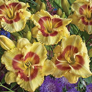 Monterrey Jack Hemerocallis Daylily Plant