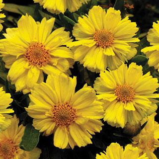 Galaxy Coreopsis Tickseed Plant