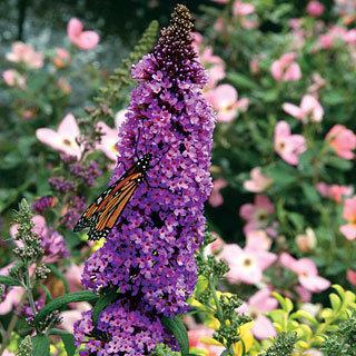 Purple Emperor™ Buddleia Butterfly Bush