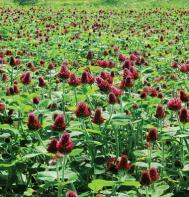 Crimson Clover (OG)