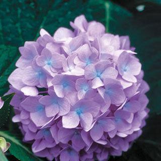 Penny Mac Blue Hydrangea Shrub