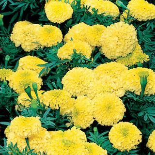 Marigold Antigua Yellow Hybrid
