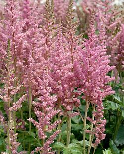 Visions in Pink Astilbe - 3 root divisions