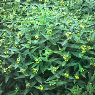 Butterfly Bush Honeysuckle Shrub