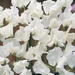 Sweet Pea o. 'White Supreme'