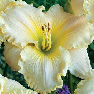 Great White Hemerocallis Daylily Plant