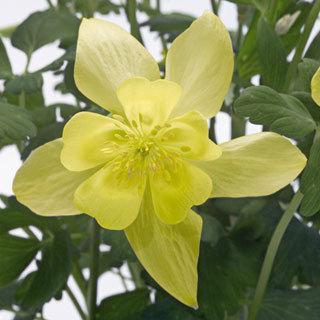 Spring Magic® Yellow Aquilegia Columbine Plant