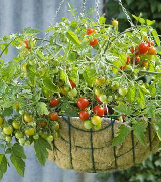 Lizzano Hybrid Tomato Plant