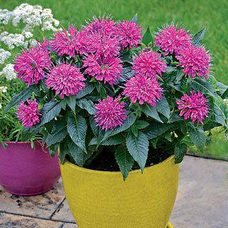 Pardon My Purple Monarda didyma Bee Balm Plant