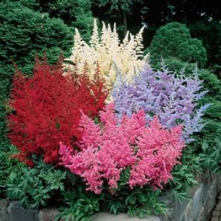 Astilbe Bargain Bag