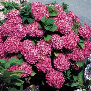 Glowing Embers Hydrangea macrophylla Shrub