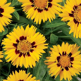 Sunfire Coreopsis Tickseed Plant