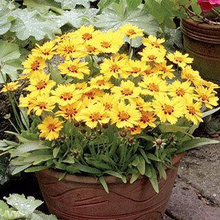 Little Sundial Coreopsis Tickseed Plant