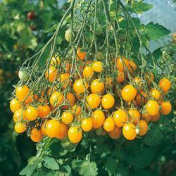 Tomato Ildi (Cordon)