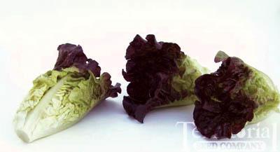 Dazzle Lettuce