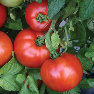 Park's Season Starter Hybrid Tomato Plant