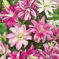 Double Oriental Lily Mixture