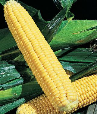 Corn, Early Xtra-Sweet Hybrid