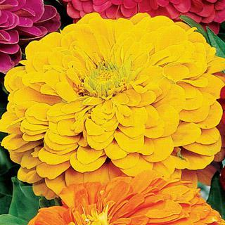 Zinnia Park's Picks Yellow