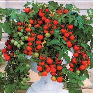 Maskotka Hybrid Tomato Plant
