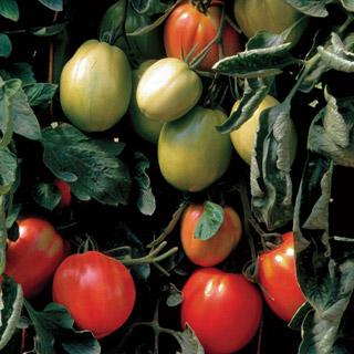 Tomato Battito Hybrid