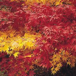 Acer 'Autumn Colored Hybrids Mixed'